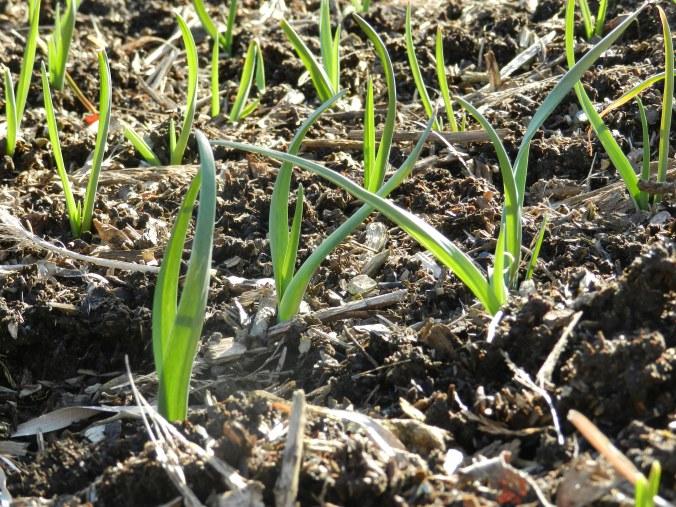 Garlic in March