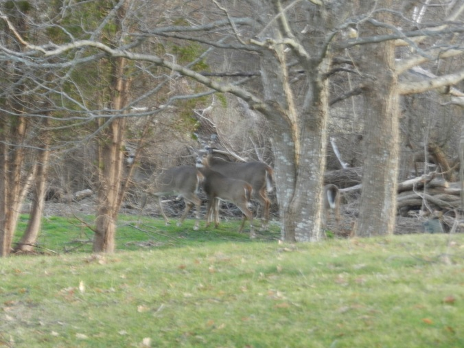 Deer. In my yard. 4 of them.