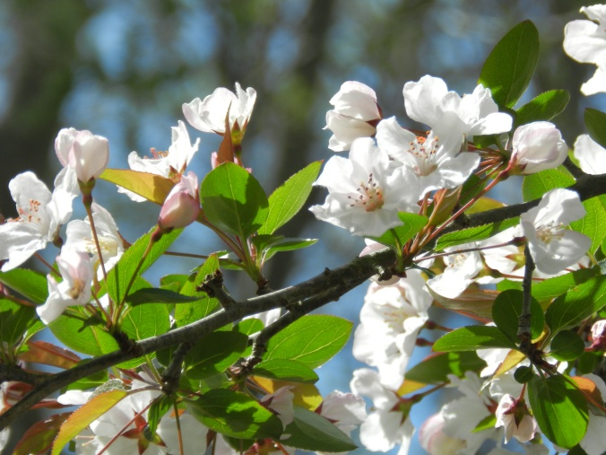apple blossoms 4-20-2012