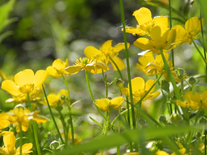 buttercups may 2012