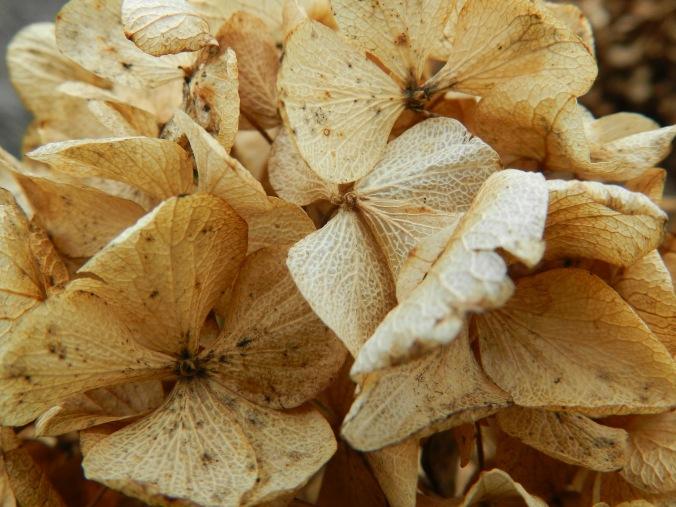 Dry Hydrangeas