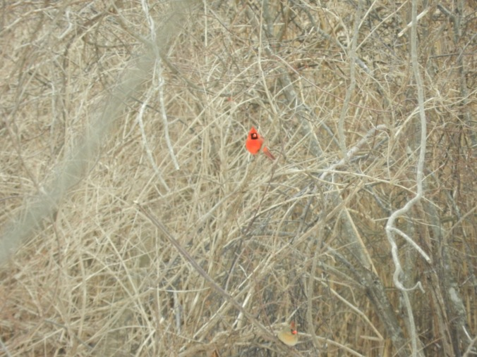 Cardinals in the brush