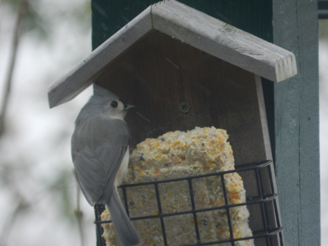 tufted titmouse on suet feeder