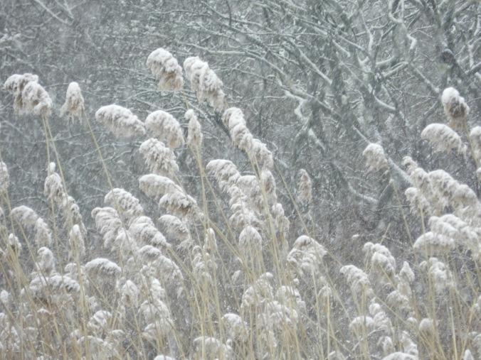 tall reeds snow