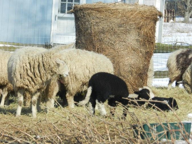 Spring Lambs!