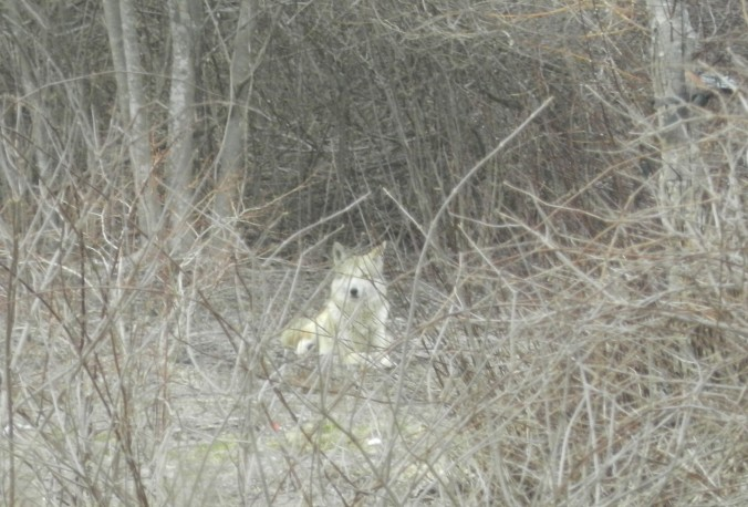 Blonde Coyote in the back field