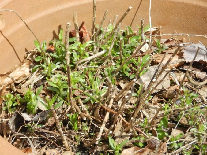 Sprouting Tarragon