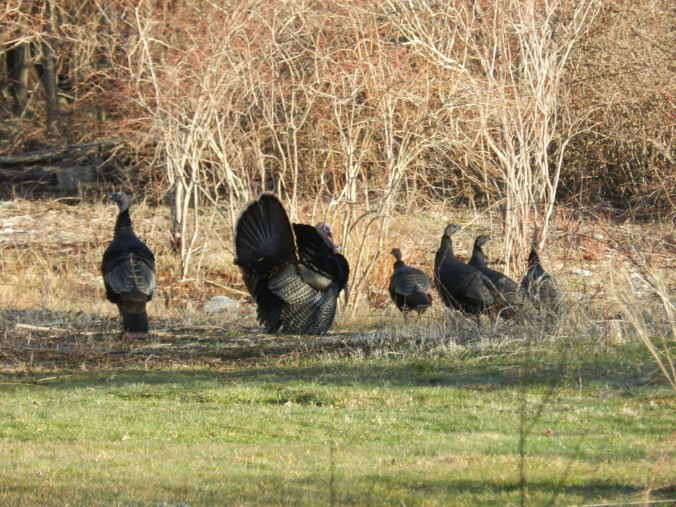 More Turkeys...