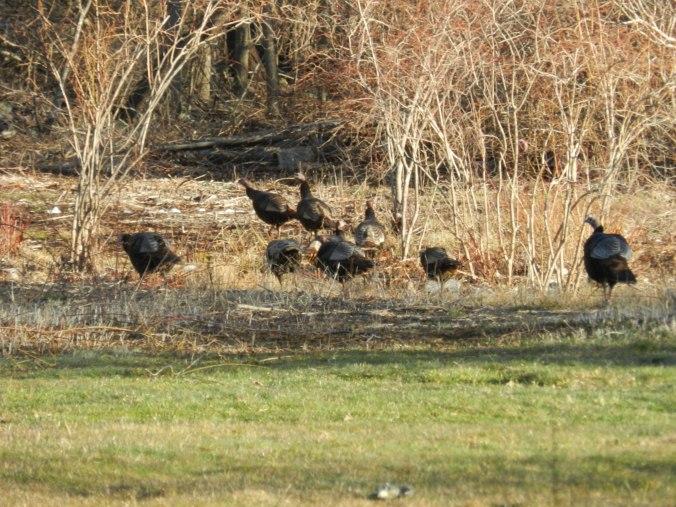 Still MORE turkeys.