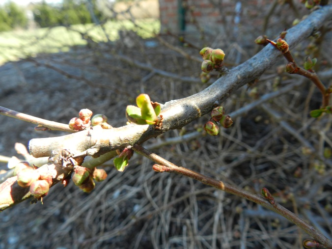 Buds on the Quince