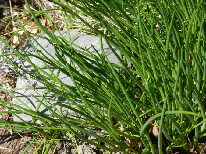 Chives by the front step