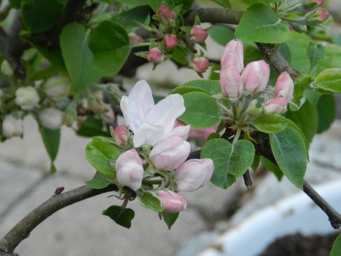 Kitchen Garden Apples