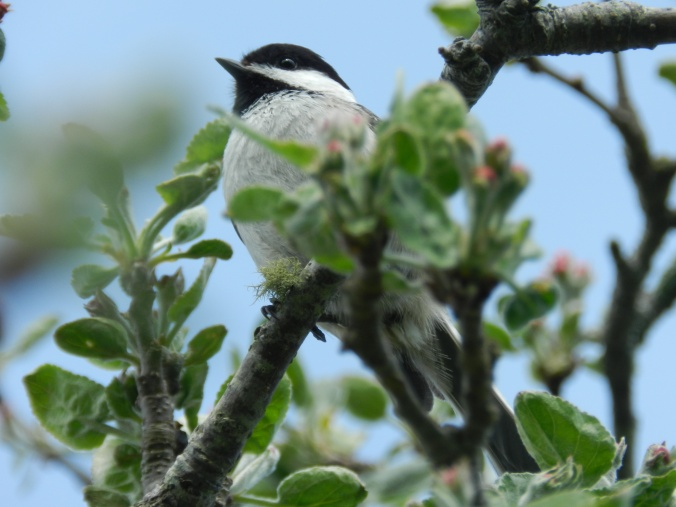 Chickadee in the apple tree