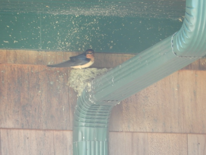 Swallow on the nest