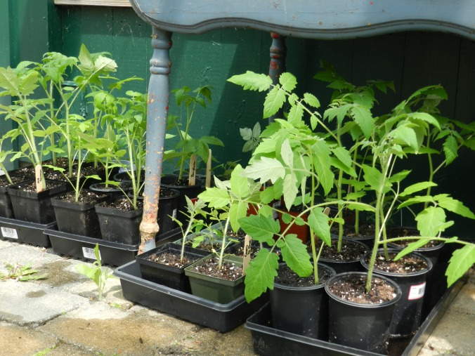 Tomatoes and peppers, outside!