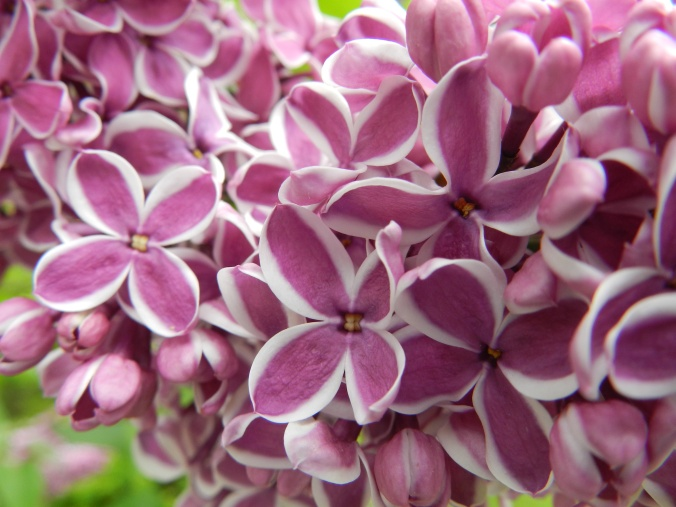 Lilacs near the back door