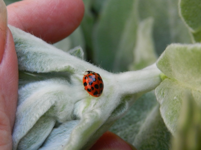 Ladybug on a Lamb's Ear