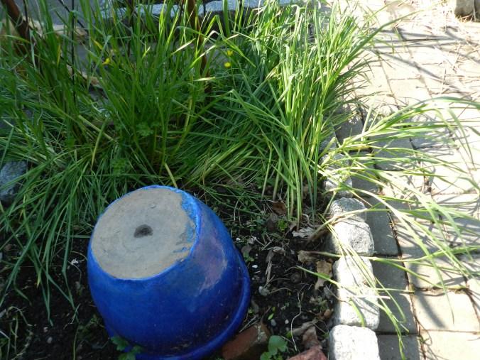 Seeded garlic