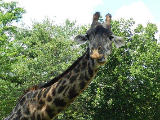 Giraffe, RW Zoo