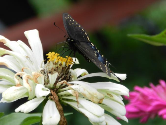 spicebush swallowtail on a zinnia