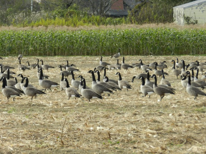 Geese in the cornfield