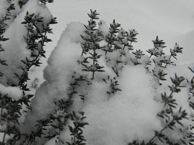 Snowthyme!