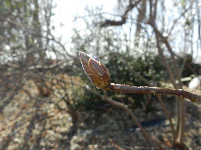 wood azaela bud