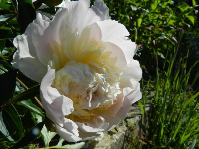 shell-pink peony