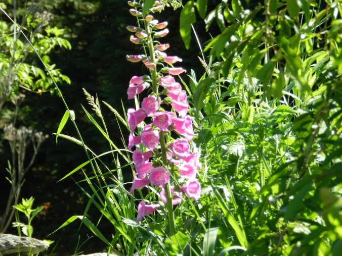 one lonely foxglove